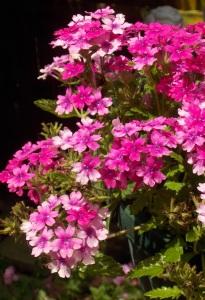 Lanai new pink 011